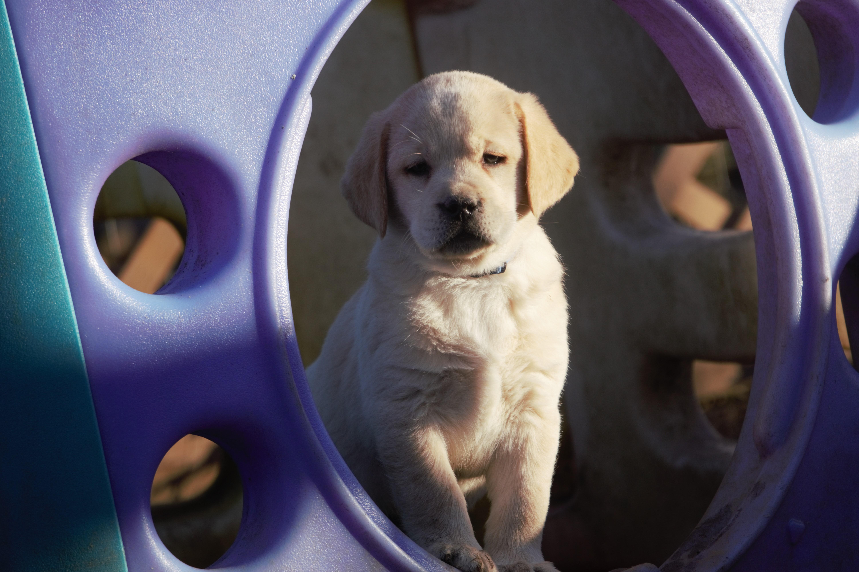 Ben - a male AKC Labrador Retriever puppy born in Mansfield, Missouri