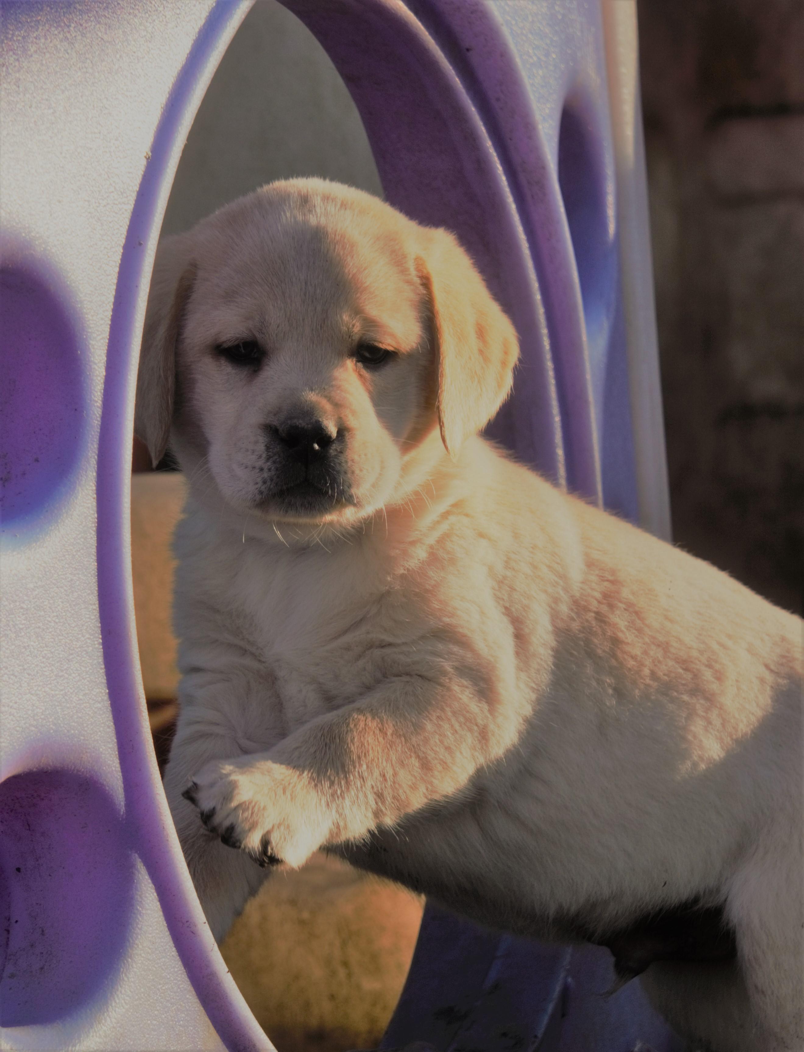 Buster - a male AKC Labrador Retriever puppy for sale in Mansfield, Missouri