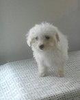 Koty- A male AKC Bichon Frise puppy for sale in Edon, Ohio