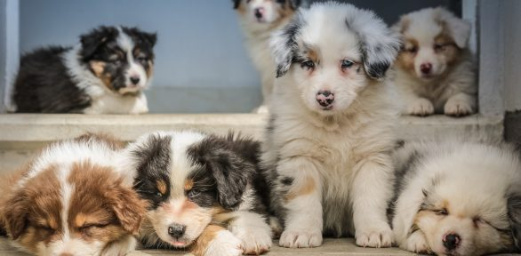 Adoption from a Shelter vs Buying from a Breeder: Which is Pro Dog?