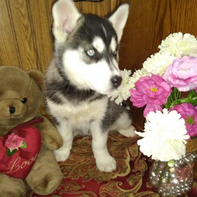 Hailey - a female Siberian Husky puppy for sale near Fort Wayne, Indiana