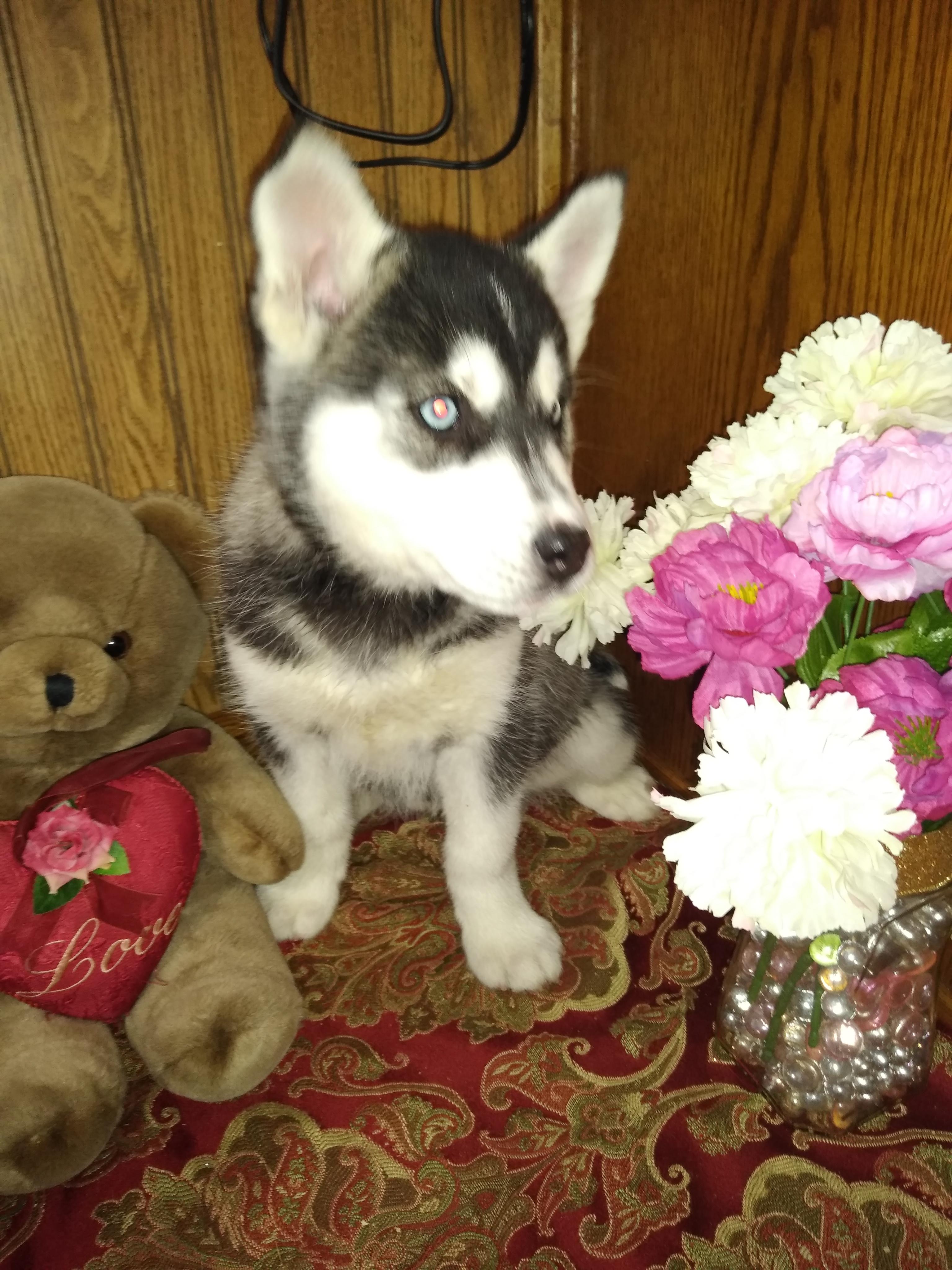 Hailey - a female Siberian Husky puppy for sale near Fort Wayne, Indiana