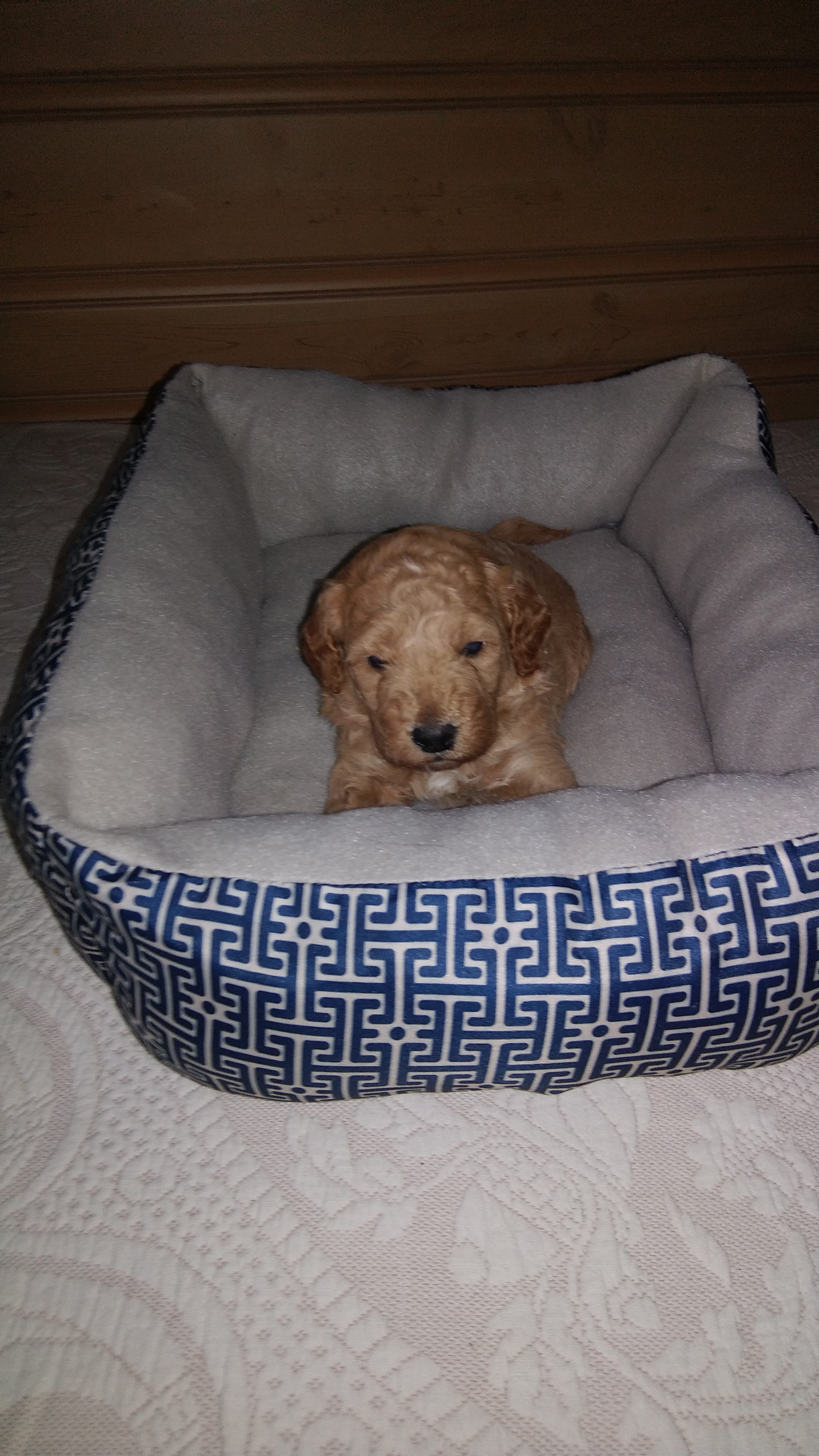 Caleb - a charming miniature Goldendoodle puppy for sale in Reading Michigan