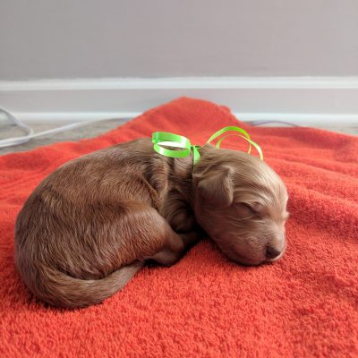 Boston - a Male AKC Goldendoodle puppy for sale Tennessee