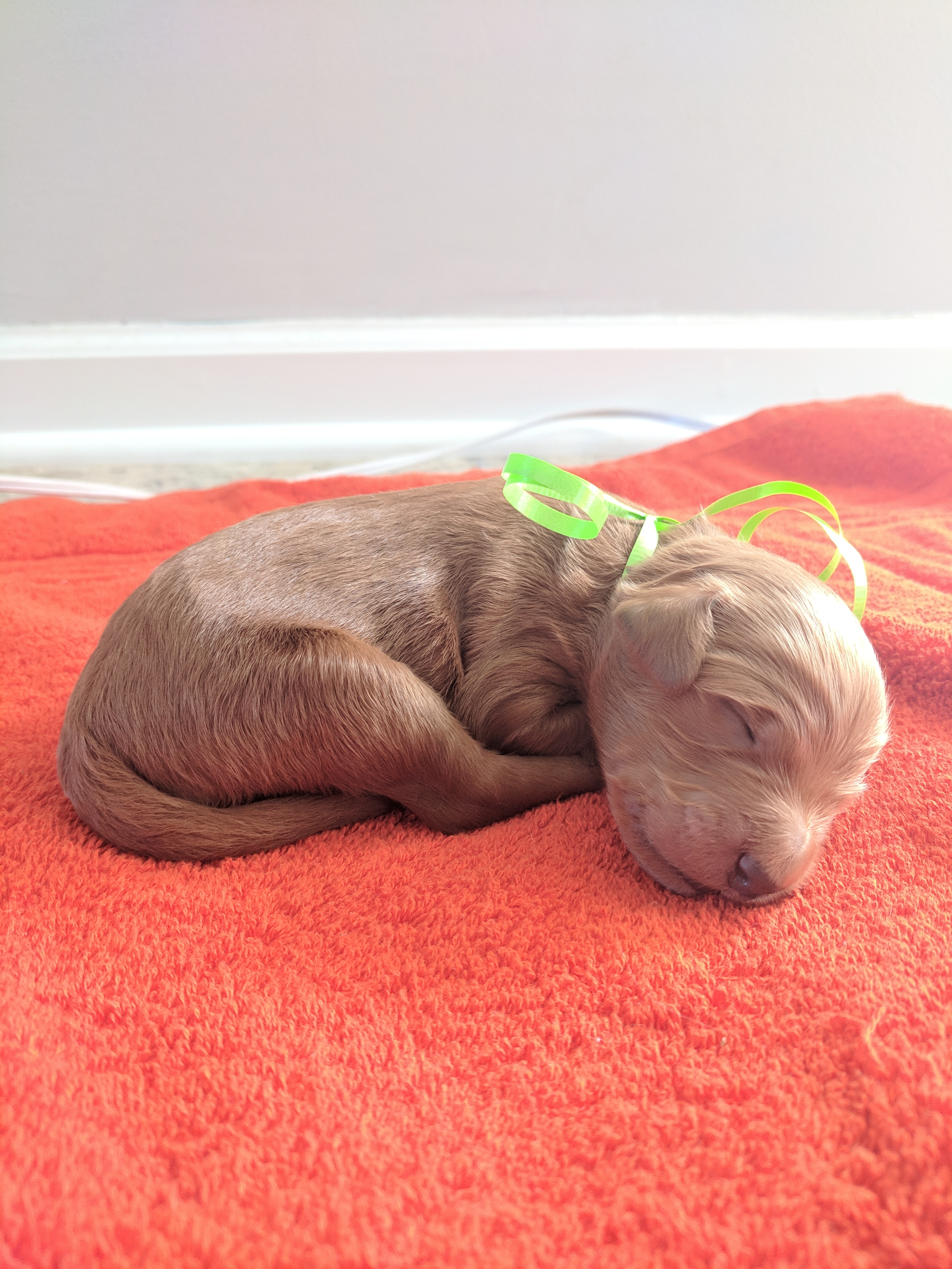 Boston A Male Akc Goldendoodle Puppy For Sale Tennessee Vip Puppies