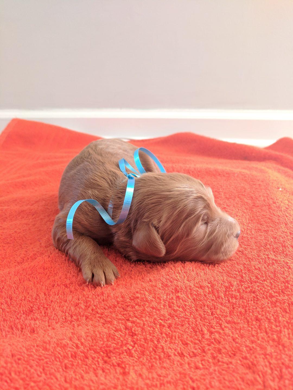 Alaska - a male AKC Goldendoodle puppy born in Murfressboro, Tennessee