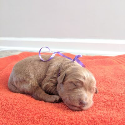 Charleston - a female AKC Goldendoodle puppy for sale in Murfreesboro, Tennessee