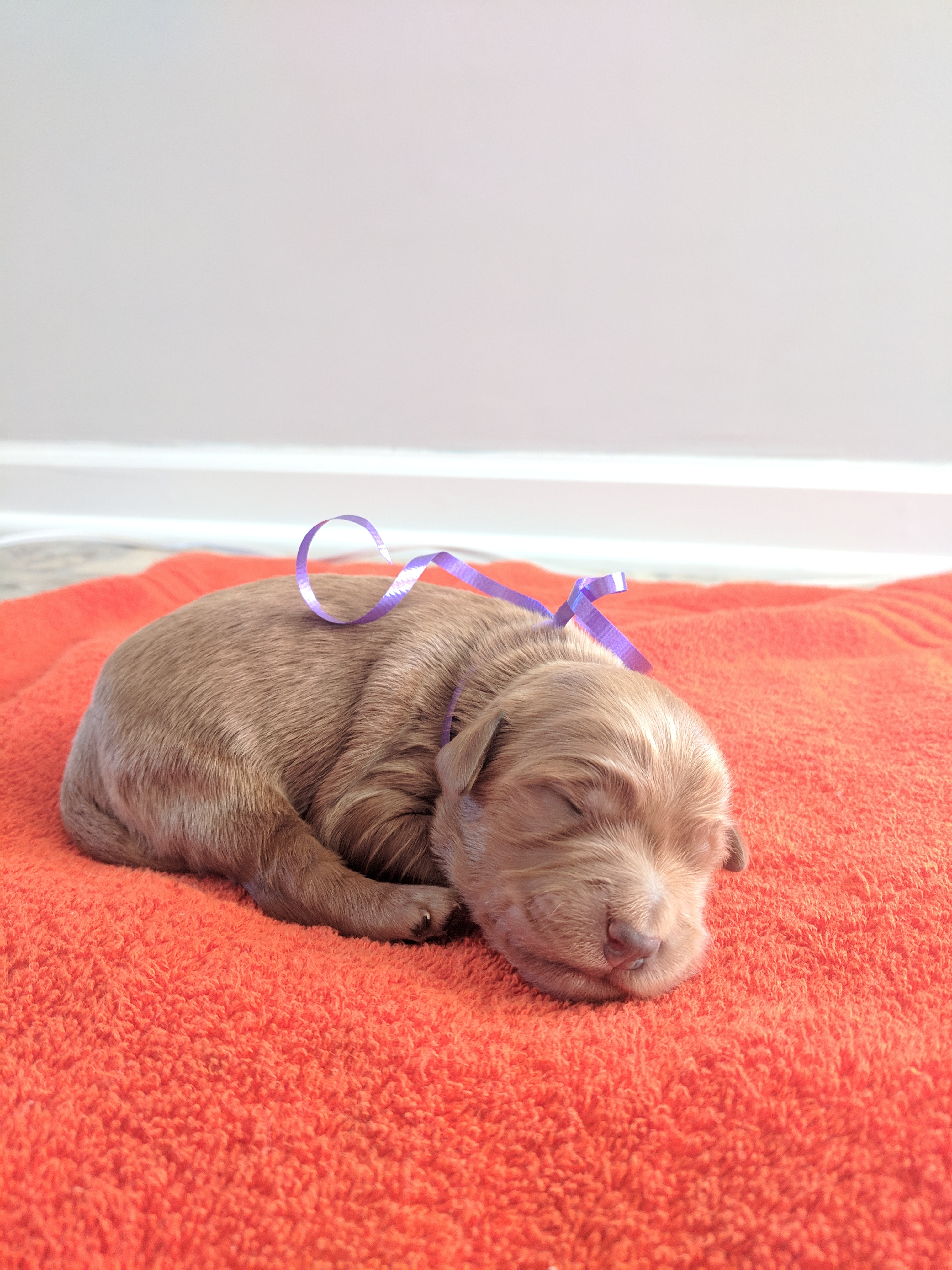 Charleston A Female Akc Goldendoodle Puppy For Sale In