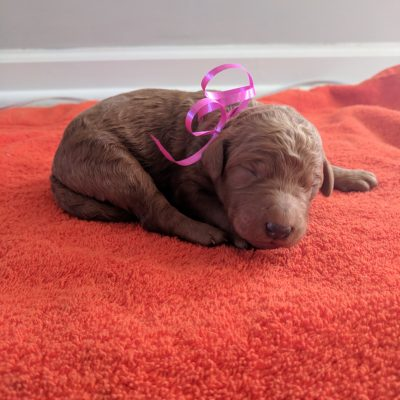 Cali - a female AKC Goldendoodle puppy for sale in Tennessee