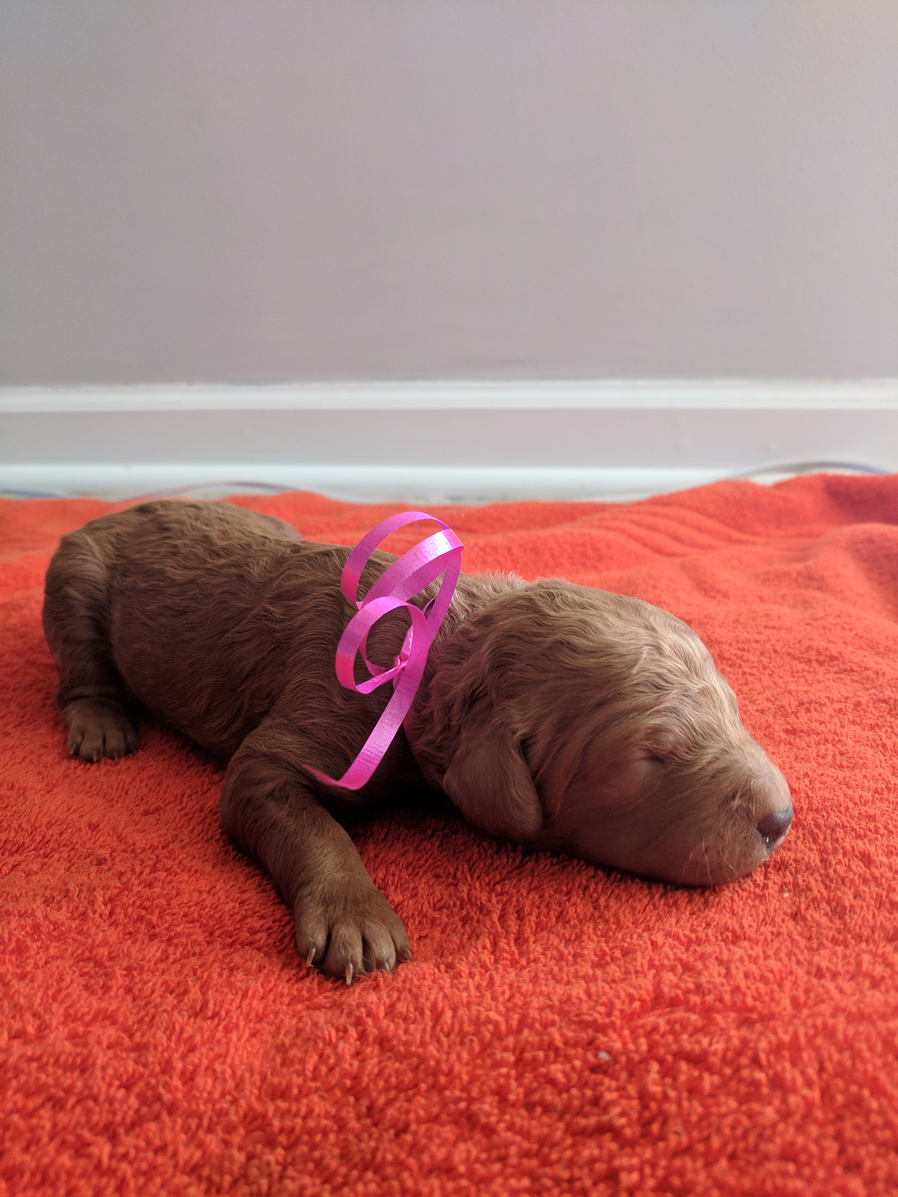 Cali A Female Akc Goldendoodle Puppy For Sale In Tennessee Vip
