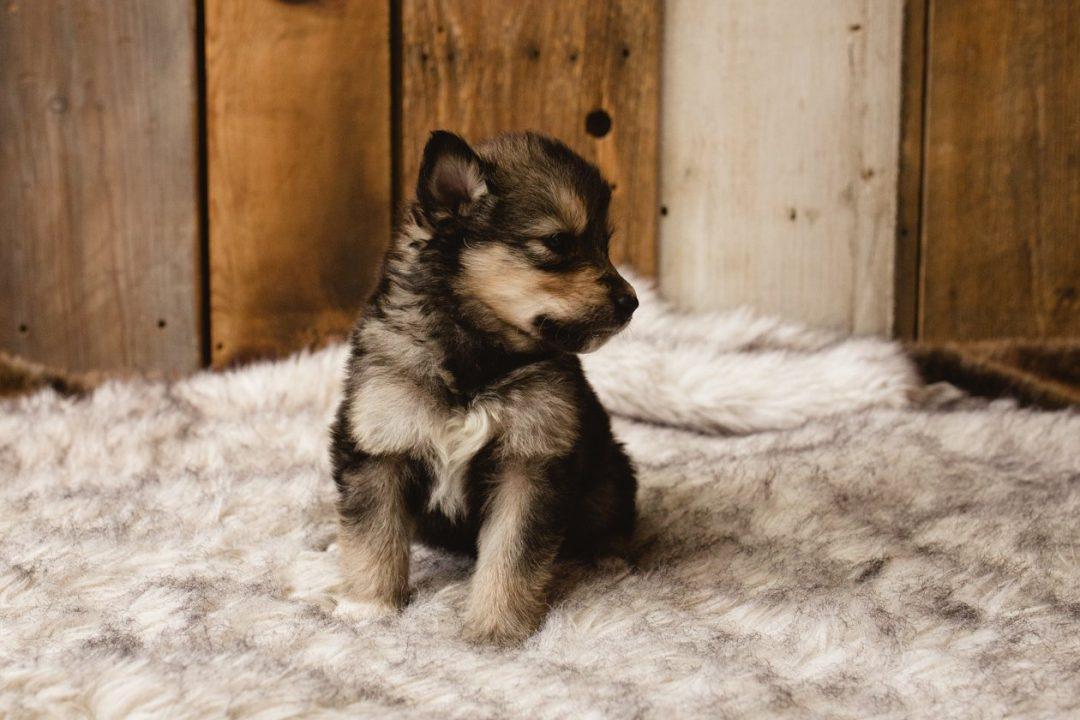 Peanut - a female Wolf-Malamute Hybrid puppy for sale in Evergreen, Colorado