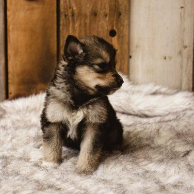 Peanut - a female Wolf-Malamute Hybrid puppy for sale in Evergreen, Colorado