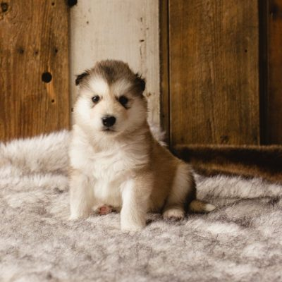 Frank - a male Wolf-Malamute Hybrid puppy for sale in Evergreen, Colorado