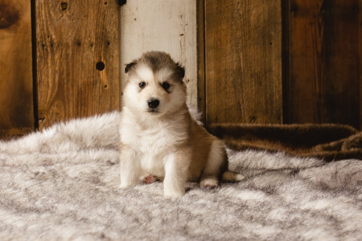 Frank A Male Wolf Malamute Hybrid Puppy For Sale In Evergreen