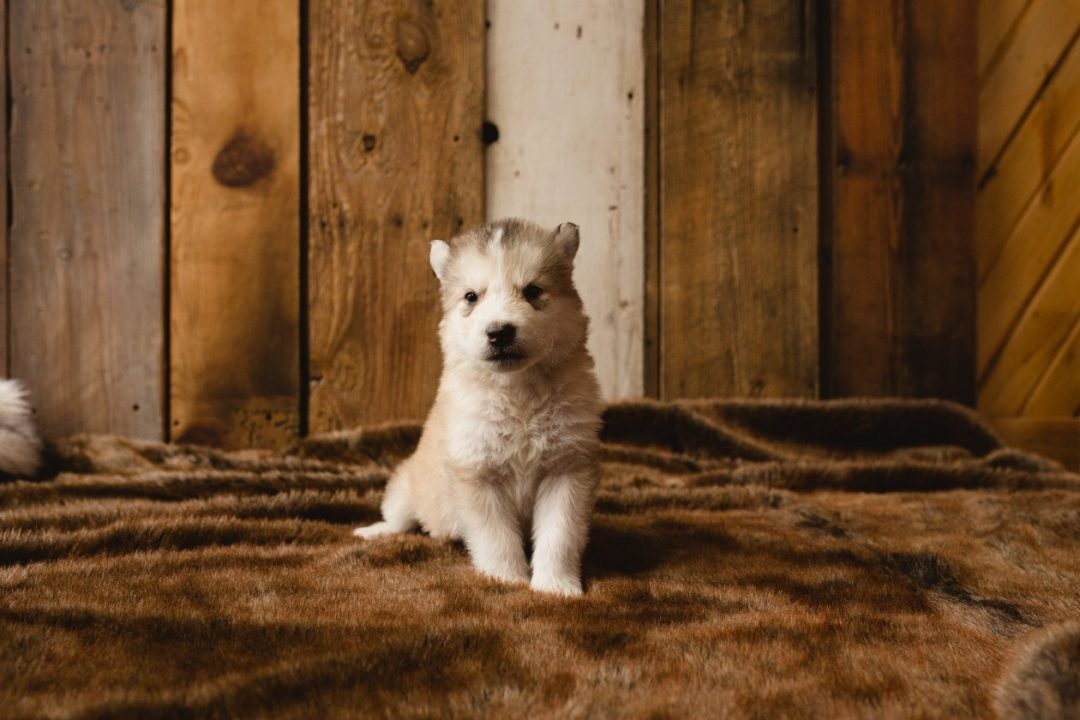 Squiggle - a male Wolf-Malamute Hybrid puppy for sale in Colorado