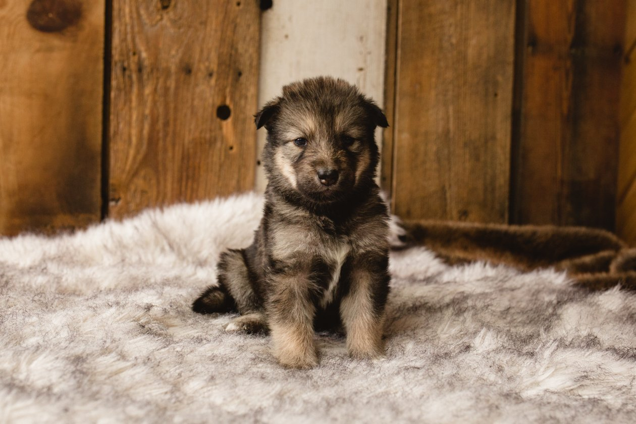 Flower - a female Wolf-Malamute Hybrid puppy for sale in Evergreen, Colorado