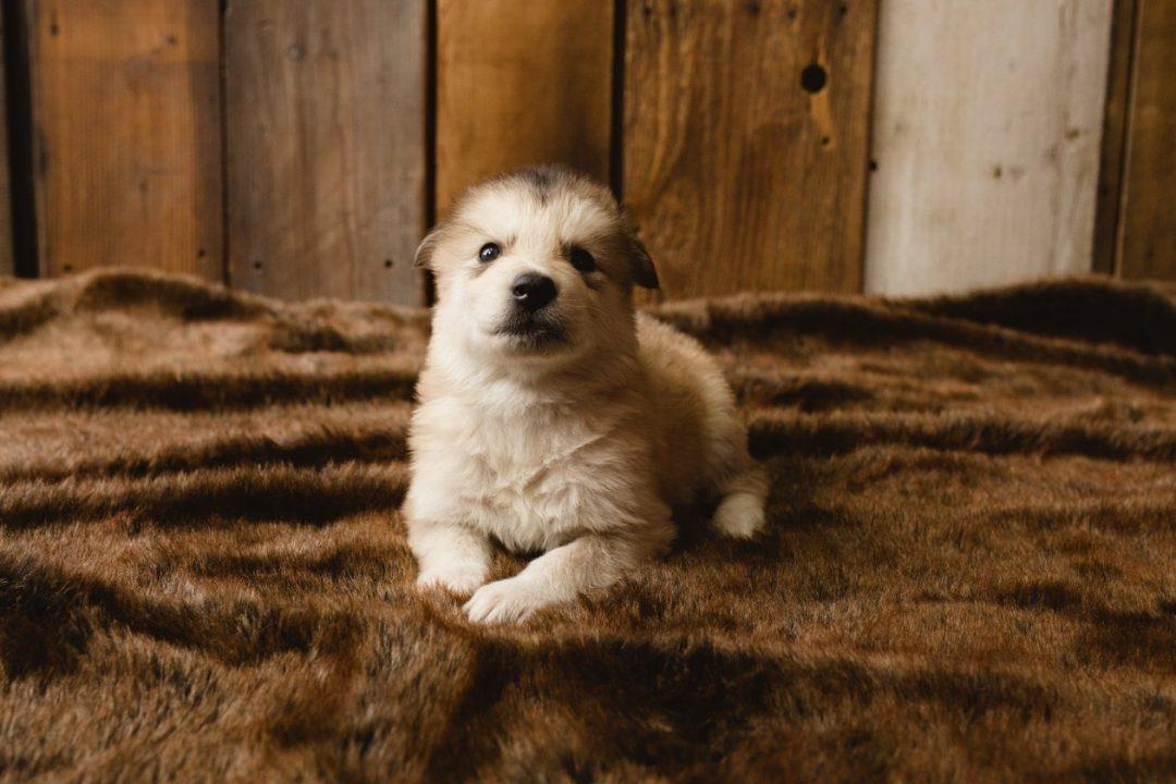 Napoleon - a male Wolf-Malamute Hybrid puppy for sale in Colorado