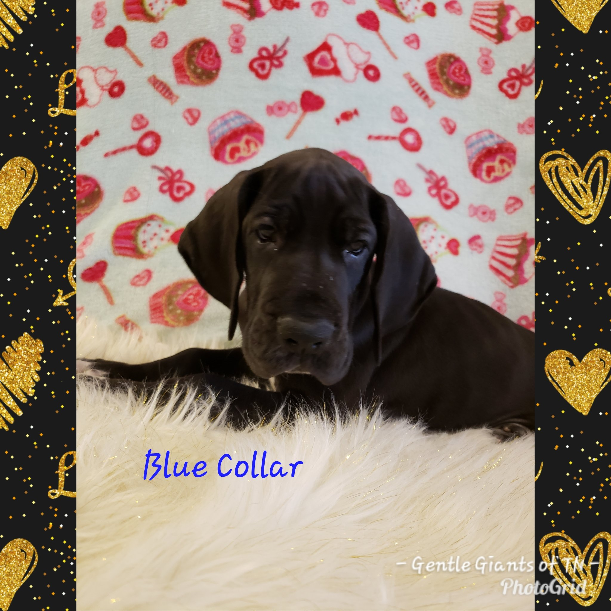 Blue Collar - a male AKC Great Dane puppy for sale in Cookeville, Tennessee