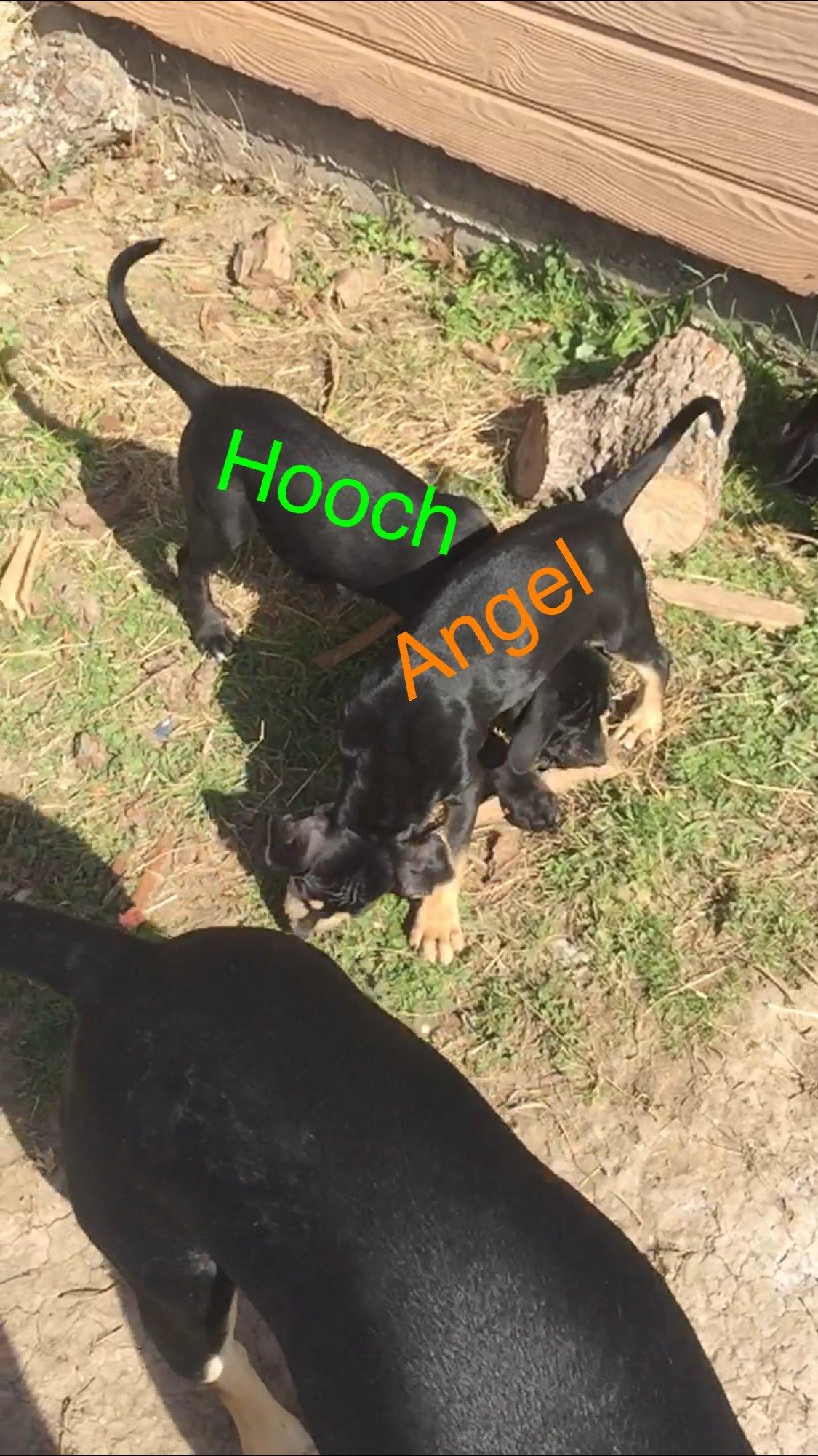 Angels Siren - a male NALC Louisiana Catahoula Leopard puppy for sale in Copperas Cove, Texas