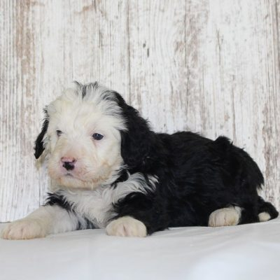 Max - a male Bernedoodle puppy for sale in New Haven, Indiana