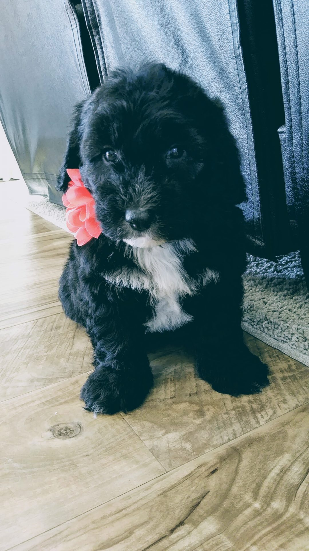 Markles! - a female Mini Sheepadoodle puppy for sale in Ohio