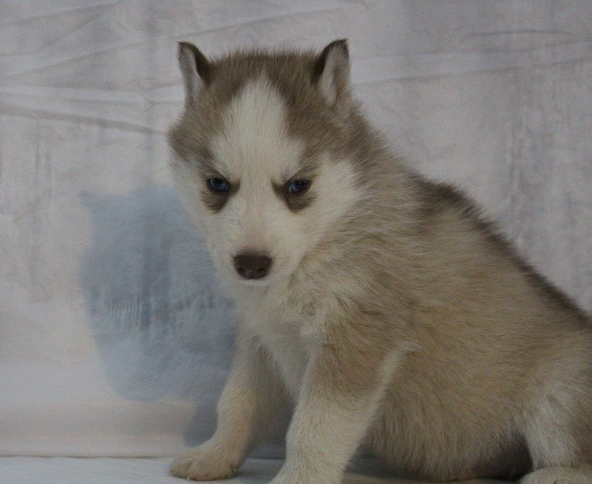 Sammy - a male AKC Siberian Husky puppy for sale in New Haven, Indiana