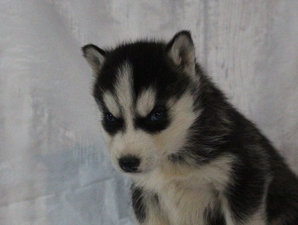 Sherie - a female AKC Siberian Husky puppy for sale in New Haven, IN