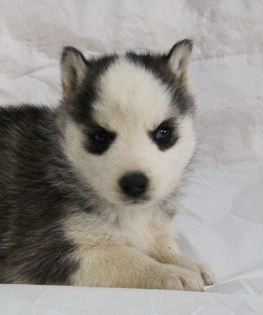 Shrilyn - a female AKC Siberian Husky puppy for sale in New Haven, Indiana