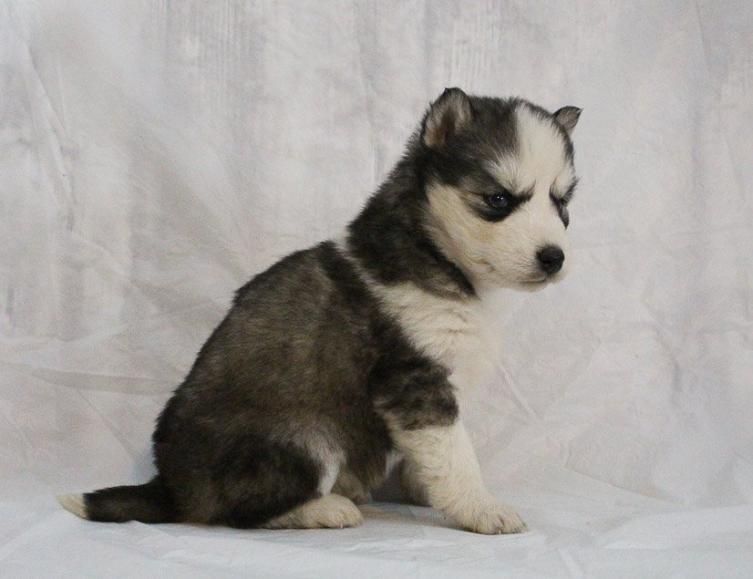 Sophia - a female AKC Siberian Husky puppy for sale in Indiana