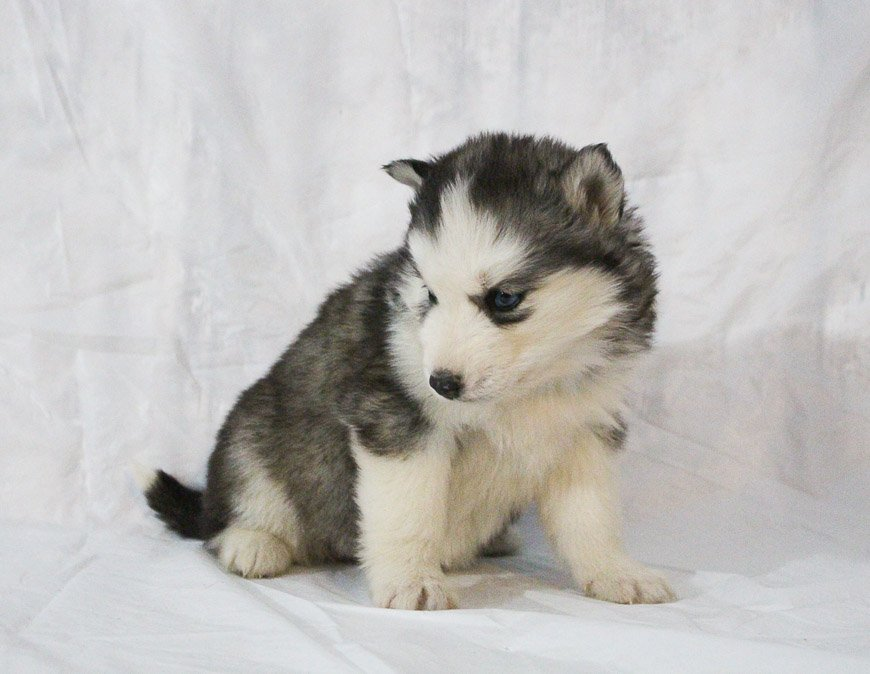 Sabrina - a female AKC Siberian Husky puppy for sale in New Haven, Indiana