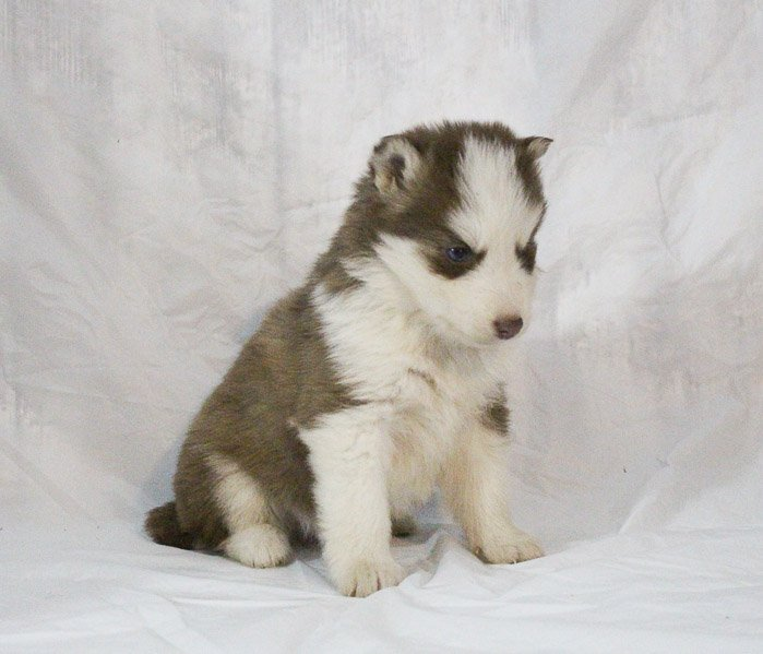 Sandi - a female Siberian Husky puppy for sale in New Haven, Indiana