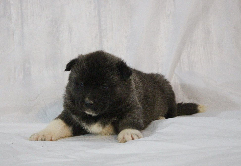 Lassie - a female AKC Akita puppy for sale in New Haven, Indiana