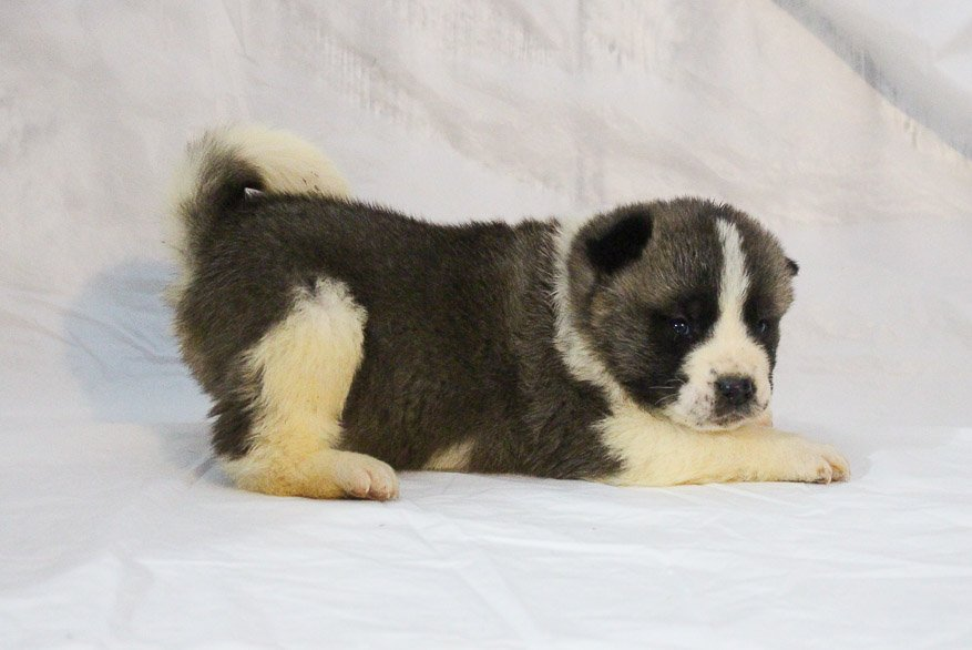 Landle - a male AKC Akita puppy for sale in New Haven, Indiana