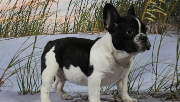 Neeko - AKC Male French Bulldog Puppy for sale in Nappanee, Indiana