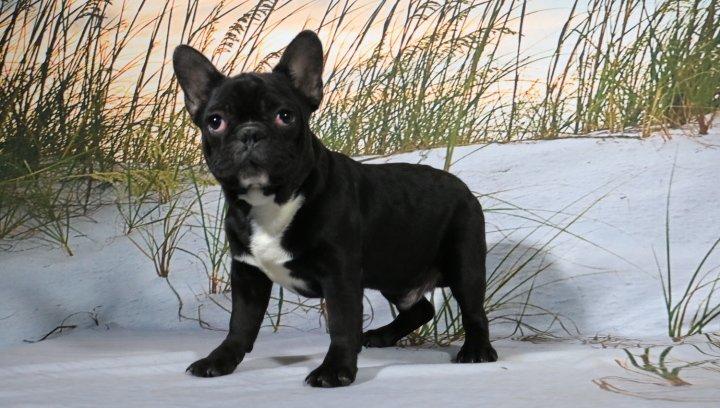 Barney - French Bulldog