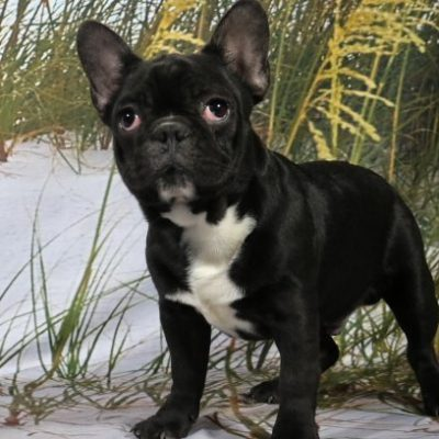 Barney - French Bulldog