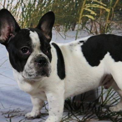 Leo - French Bulldog
