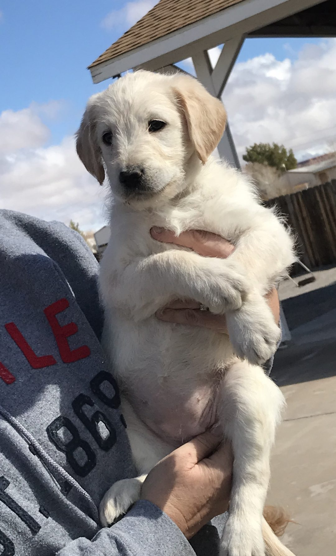 Snowflake - a female Double Doodle puppy for sale in Logandale, Nevada