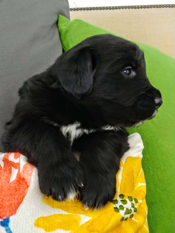 Chitwan - a male Golden Mountain Dog/Golden Bernese puppy for sale in Wisconsin