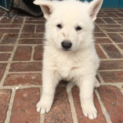 Tan Boy - a male UKC White Shepherd puppy for sale in Fullerton, California