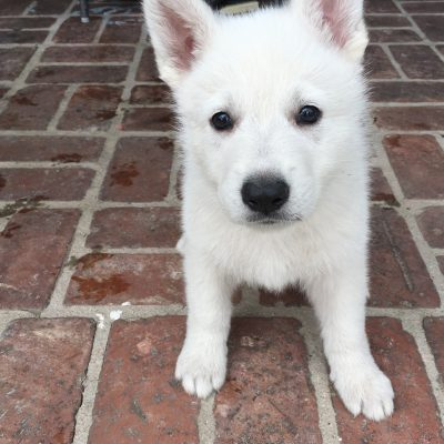 Red Girl - a UKC White Shepherd puppy for sale in Fullerton, CA