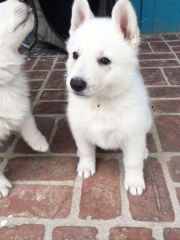 Purple Girl - a female UKC White Shepherd puppy for sale in California