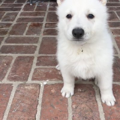 Purple Girl - a female UKC White Shepherd puppy for sale in California
