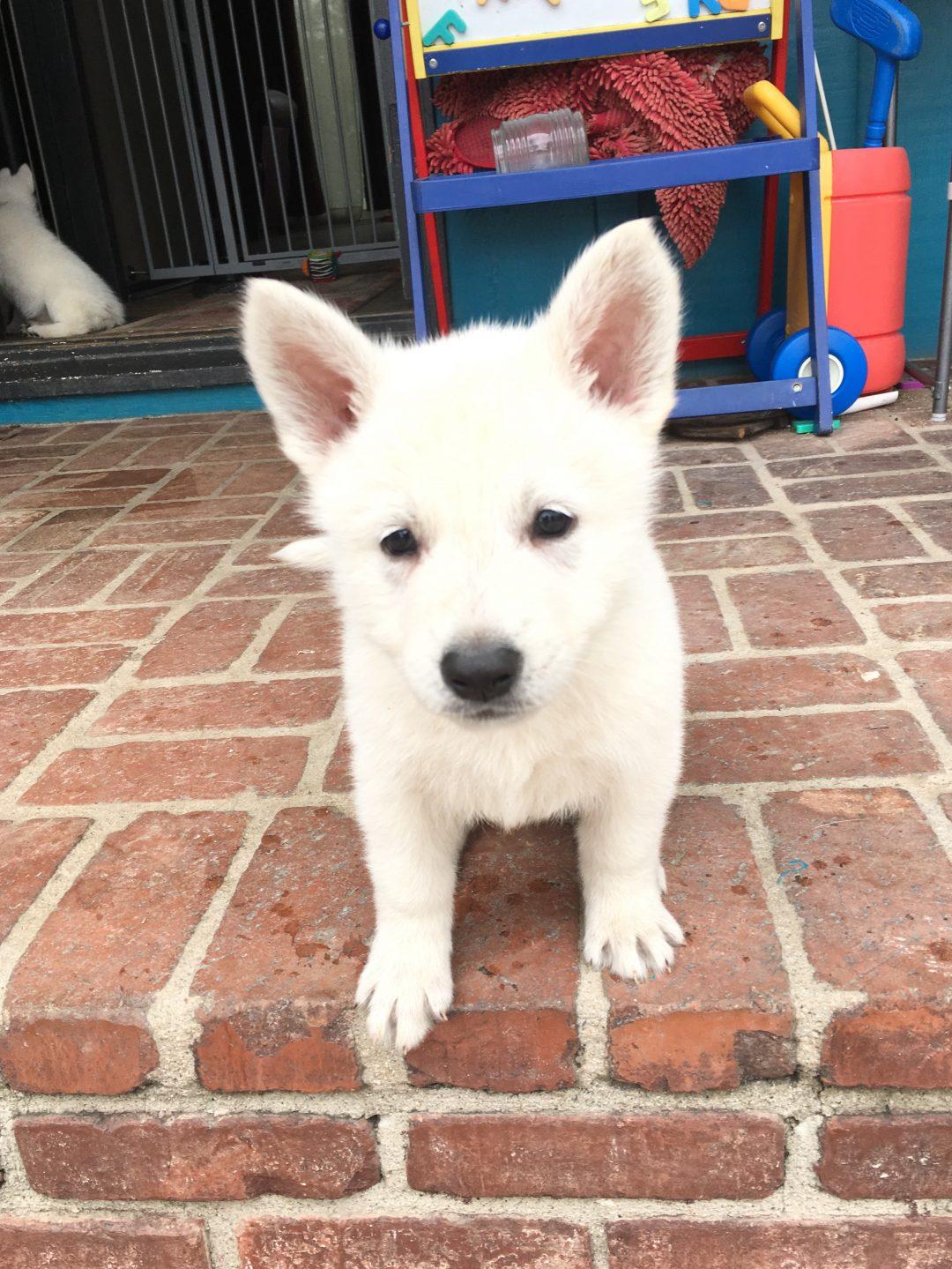 Yellow Girl - a UKC White Shepherd puppy for sale in Fullerton, California