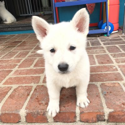 Yellow Girl - a UKC White Shepherd puppy for sale in Fullerton, California