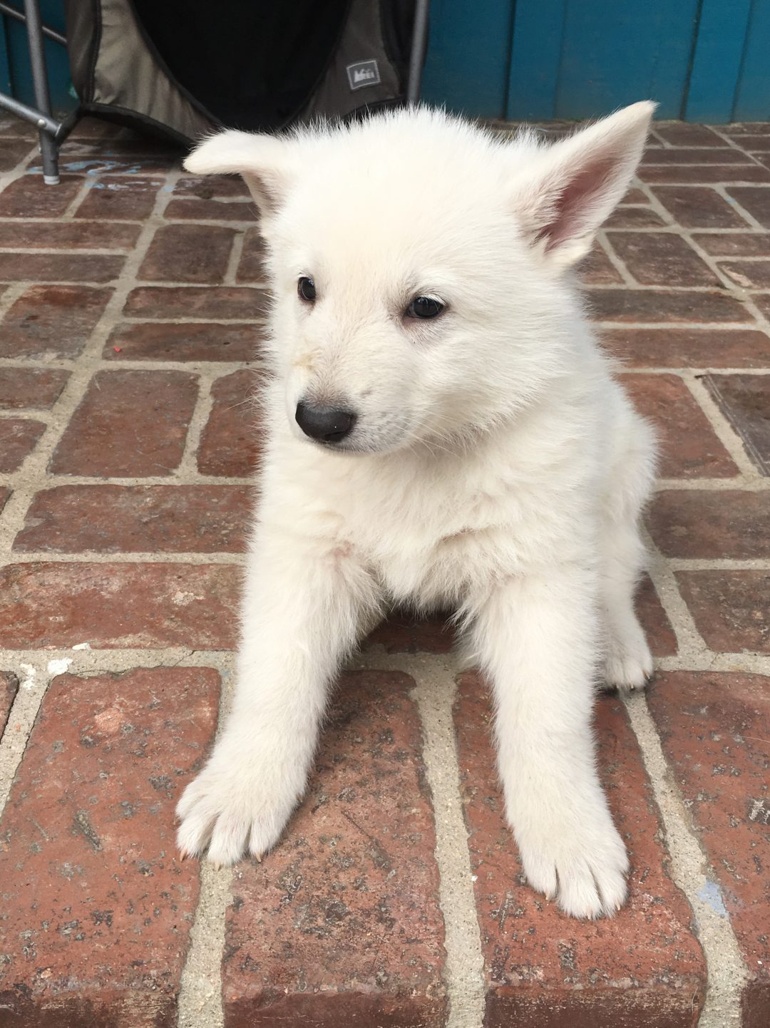 Tan Boy - a male UKC White Shepherd puppy for sale in Fullerton, California