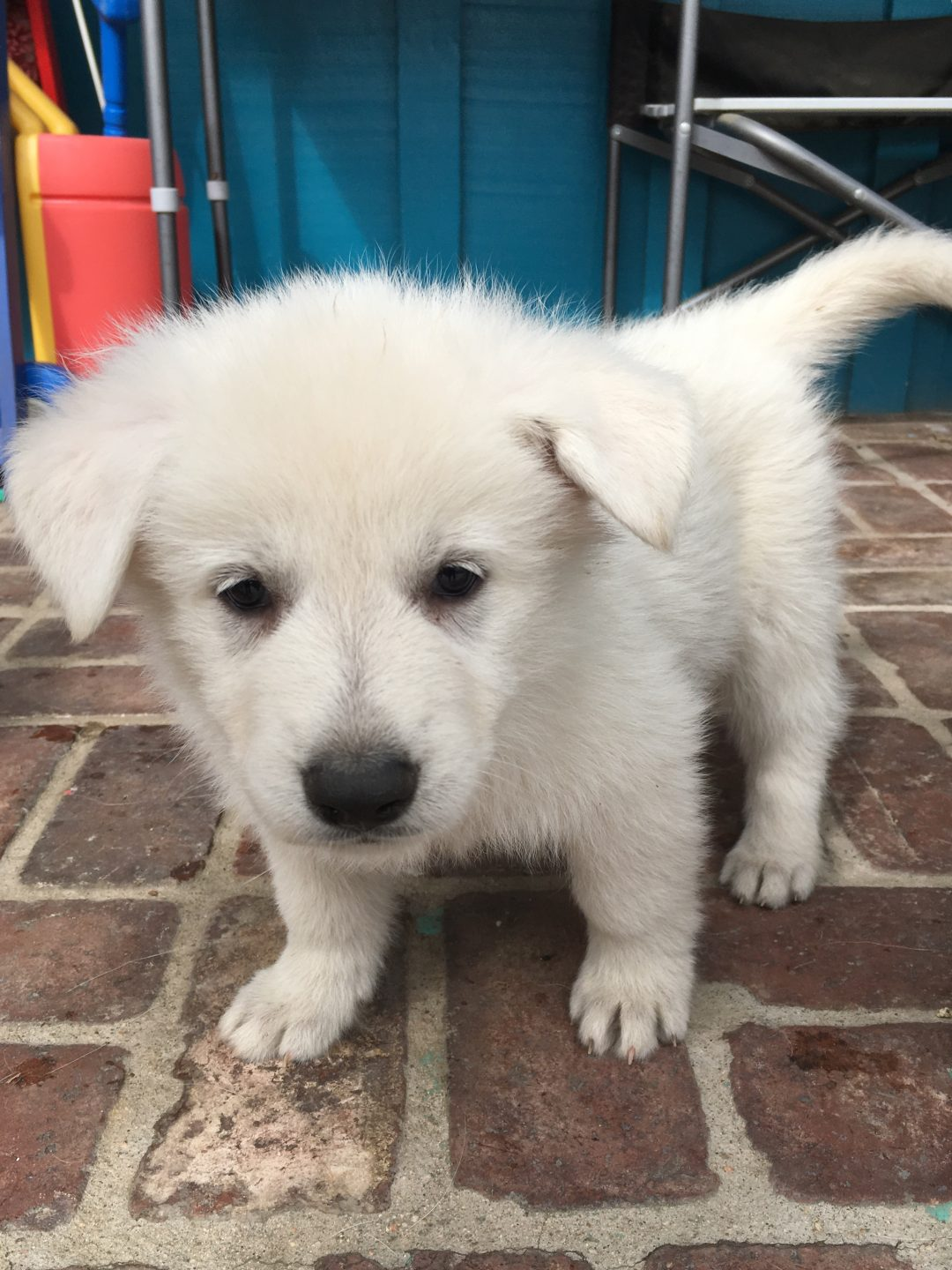 Orange Girl - a UKC White Shepherd puppy for sale in Fullerton, CA