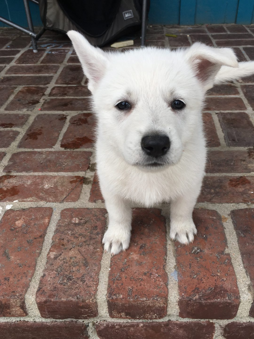 Black Girl - a UKC White Shepherd puppy for sale in California
