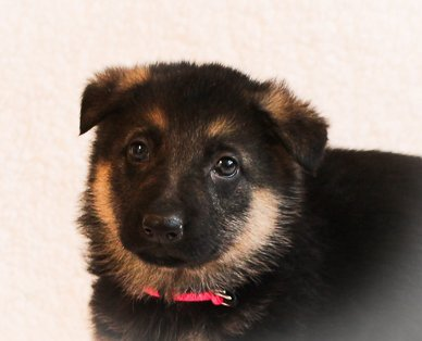Allie - a female AKC German Shepherd puppy from Grabill, IN