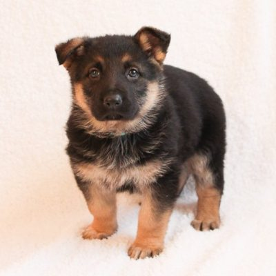 Reble - a male AKC German Shepherd puppy for sale in Grabill, Indiana